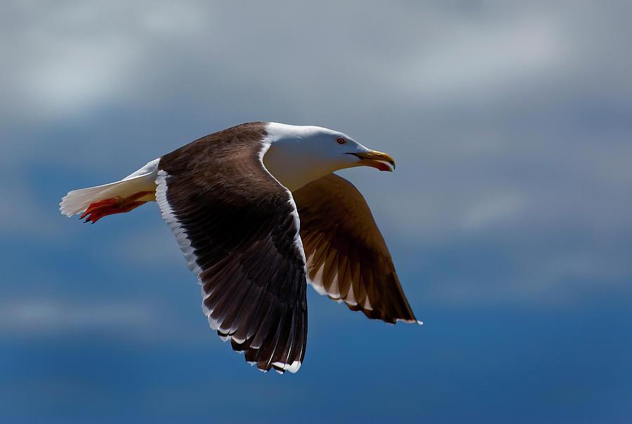 Bird Photograph - Flight by Murray Bloom
