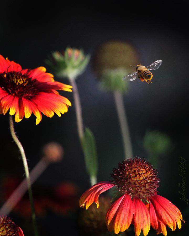 Honey Bee Photograph - Flight Of A Honey Bee by Joseph G Holland