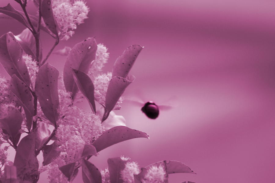 Bubblegum Pink Photograph - Flight Of Princess Bumble Bee by Colleen Cornelius