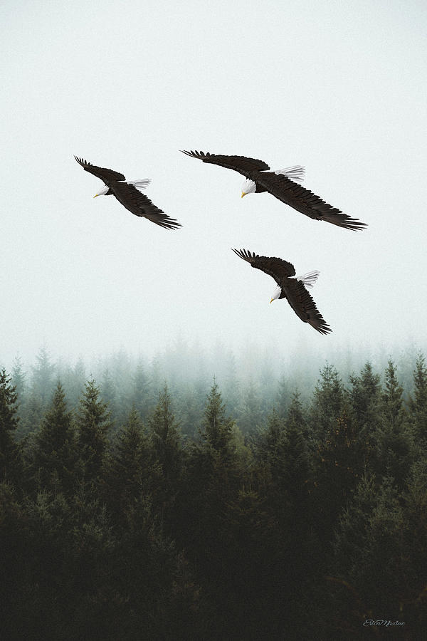 Eagles Photograph - Flight Of The Eagles by Ericamaxine Price