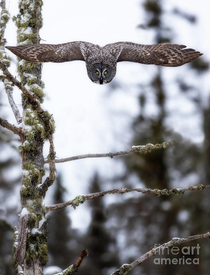 Great Gray Owl Photograph - Flight Of The Great Gray by Rudy Viereckl