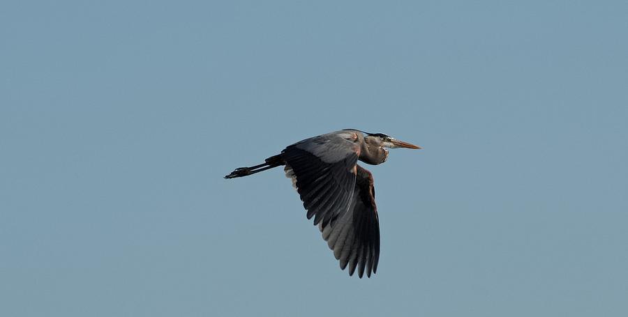 Flight of the Heron by Shoeless Wonder