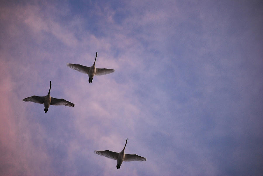 Swans Photograph - Flight Of The Swans  by Michelle  BarlondSmith