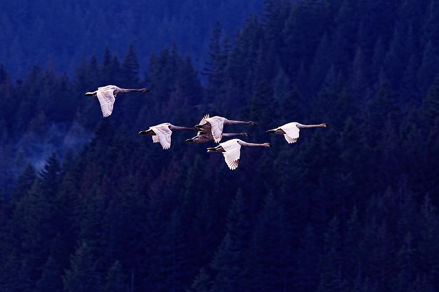 Trumpeter Swans Photograph - Flight Of The Swans by Sharon Talson