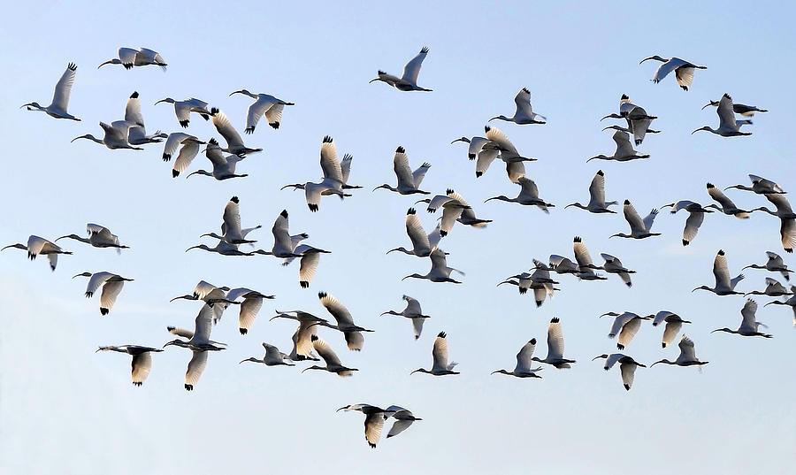 White Ibis Photograph - Flight Of The White Ibis by David Lee Thompson
