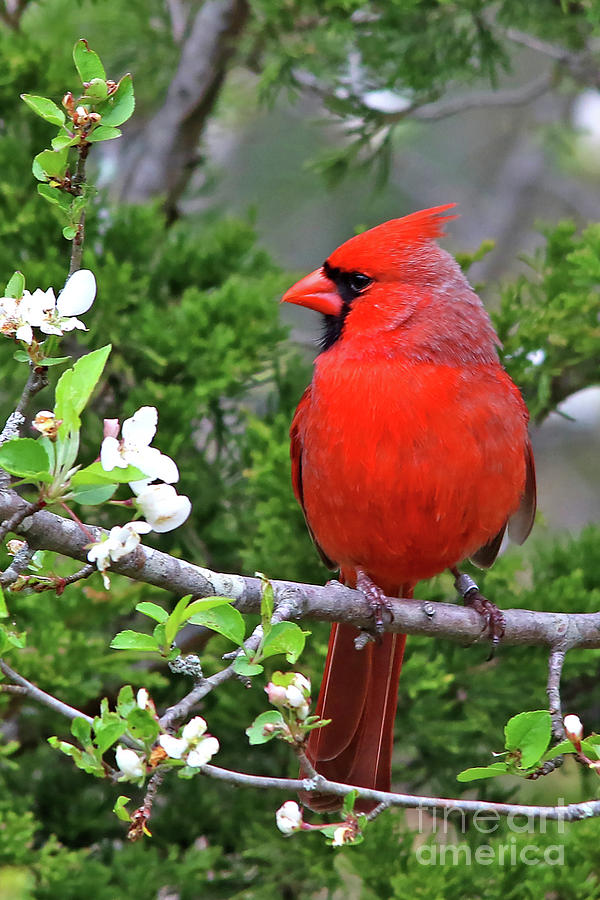 Bird Photograph - Flirty Red by James F Towne