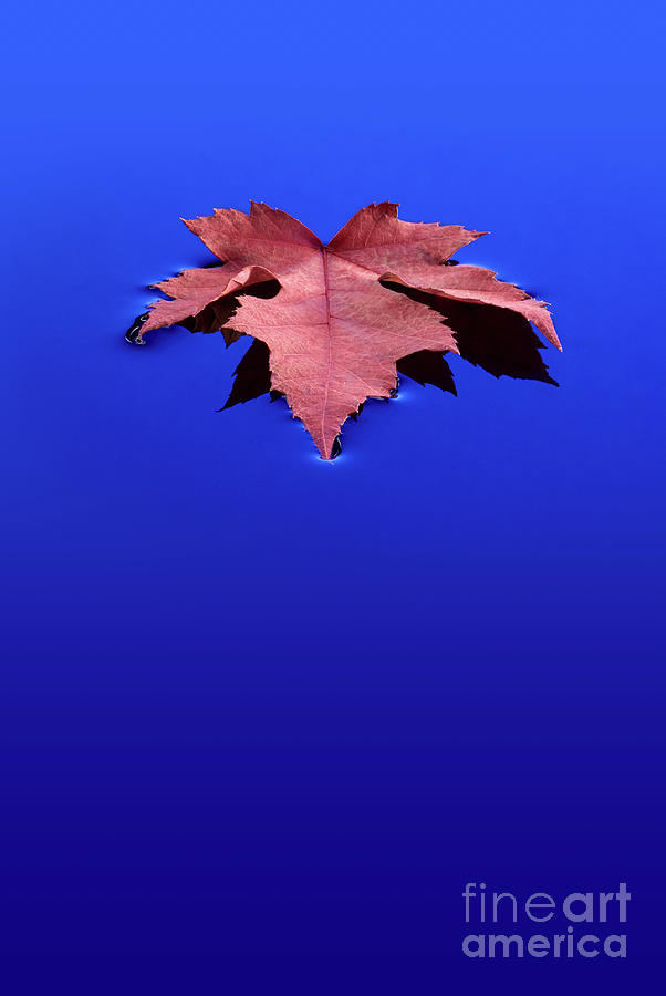 Floating Leaf 1 - Maple by Dean Birinyi