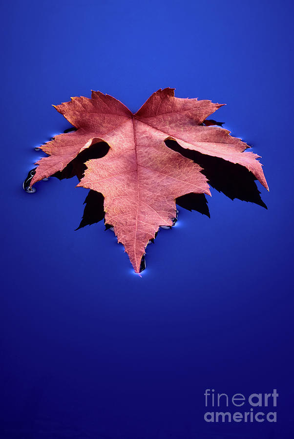 Floating Photograph - Floating Leaf 2 - Maple by Dean Birinyi