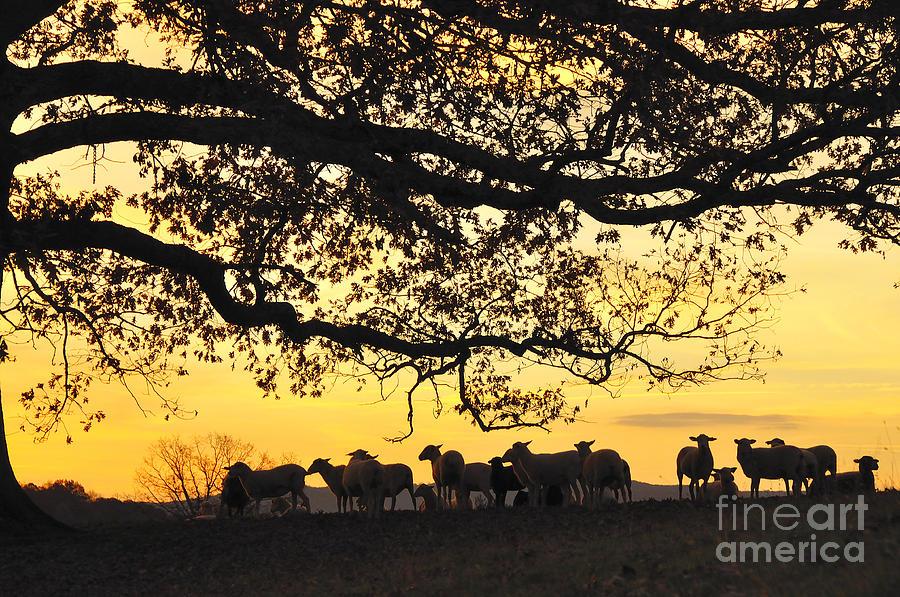 Sheep Photograph - Flock At Sunrise by Thomas R Fletcher