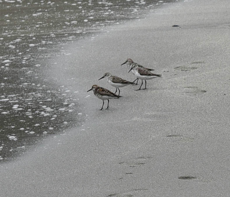 Sandpipers Photograph - Flock Of Pipers by Rusty Photography by Richard Temkin