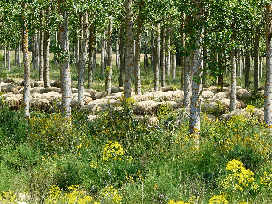 Sheep Photograph - Flock Of Sheep by Valerie Ornstein