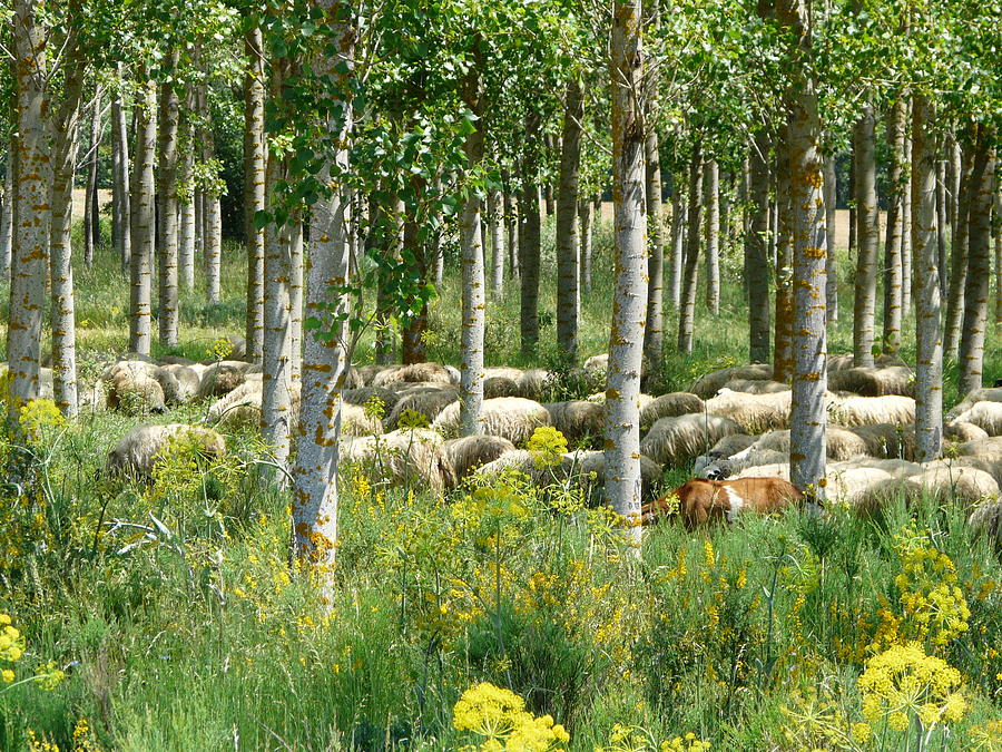 Sheep Photograph - Flock Of Sheep With A Goat by Valerie Ornstein