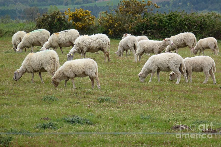 Animals Photograph - Flock Of Sheeps by Jean Bernard Roussilhe