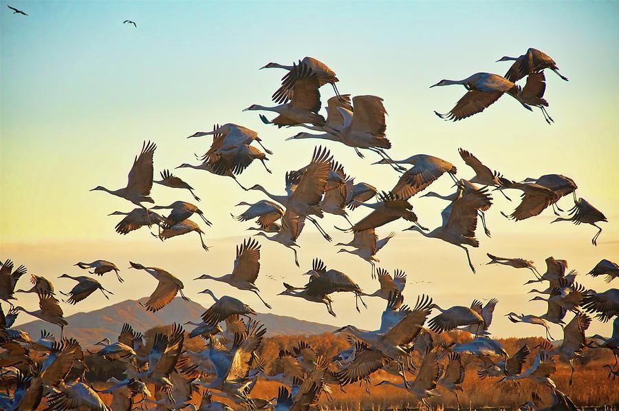 Nature Photograph - Liftoff, Sandhill Cranes by Zayne Diamond Photographic