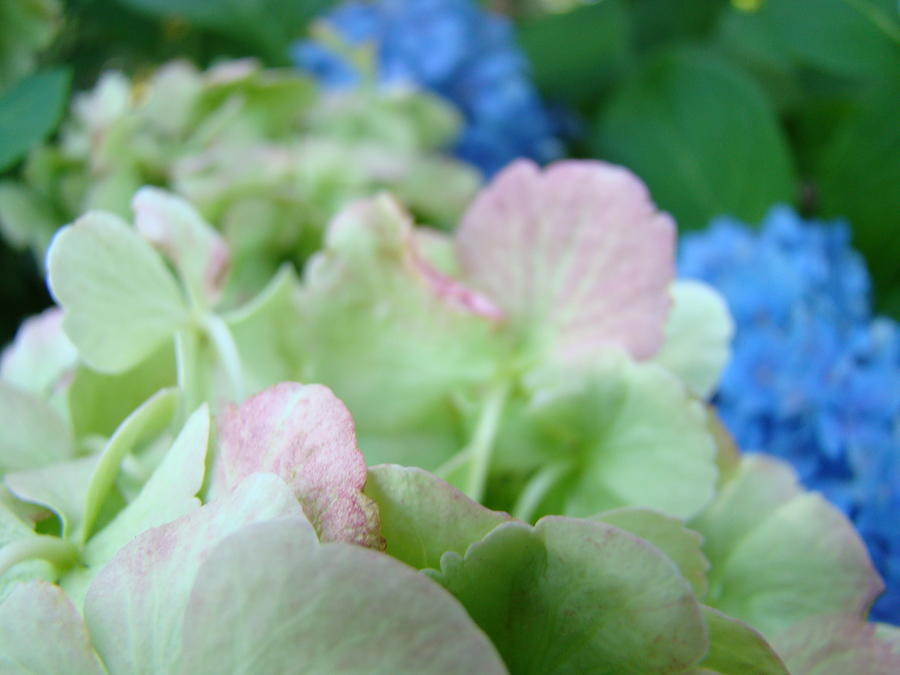 Hydrangea Photograph - Floral Artwork Hydrangea Flowers Soft Nature Giclee Baslee Troutman by Baslee Troutman