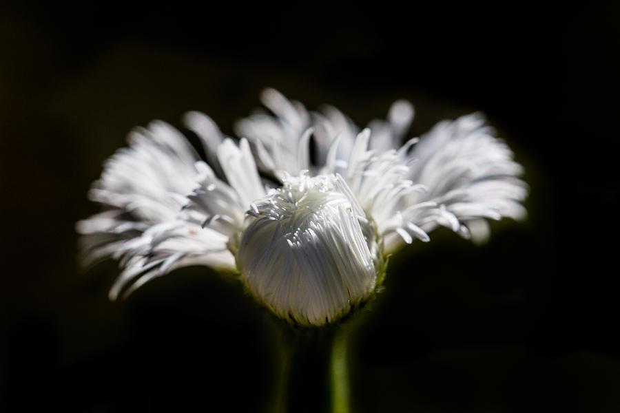 Floral Chiaroscuro by Steven Schwartzman