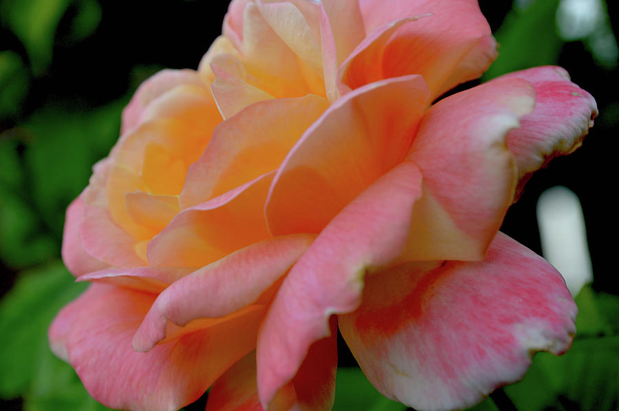 Flower Photograph - Floral Glow by Rachel Mahoney
