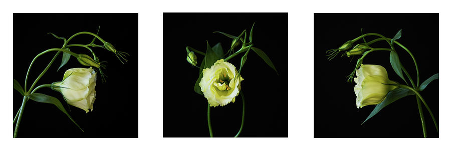 Lisianthus Photograph - Floral Mugshot by Cheryl Day