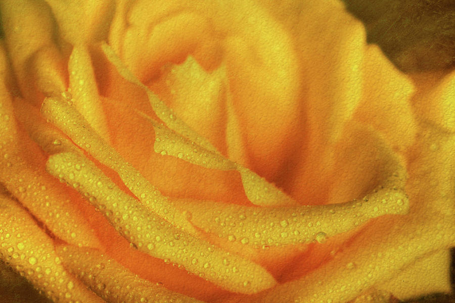 Floral Yellow Rose Blossom by Shelley Neff