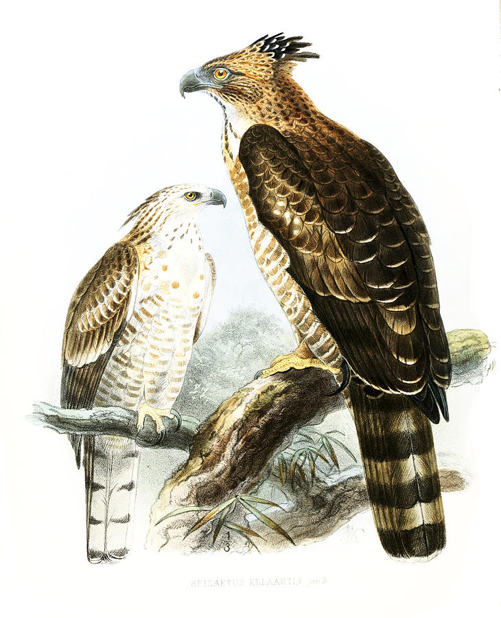 John Gerrard Keulemans Drawing - Flores Hawk-eagles by John Gerrard Keulemans