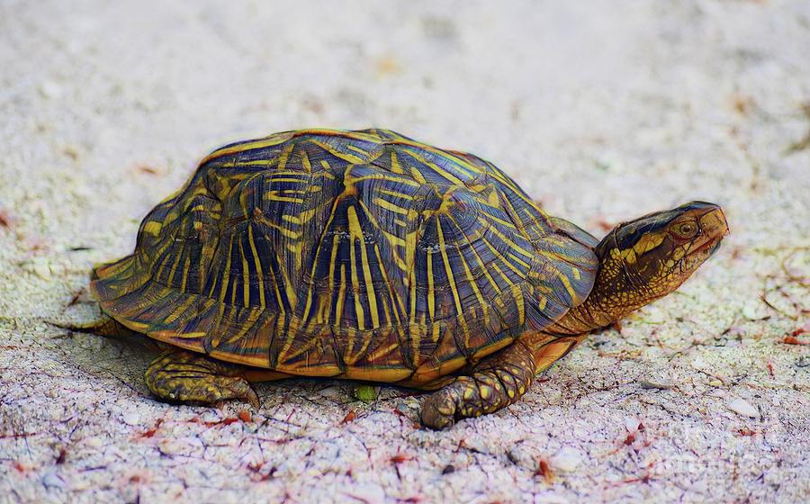 Florida Box Turtle Photograph - Florida Box Turtle by Patti Whitten