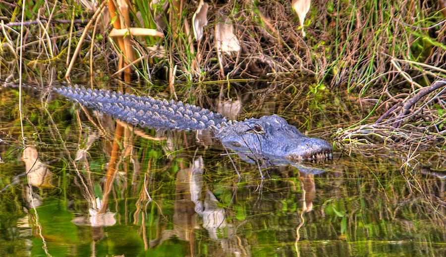 Alligator Photograph - Florida Gator by William Wetmore