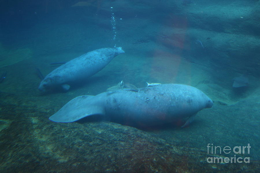 Underwater Photograph - Florida Manatees by Dawn Downour