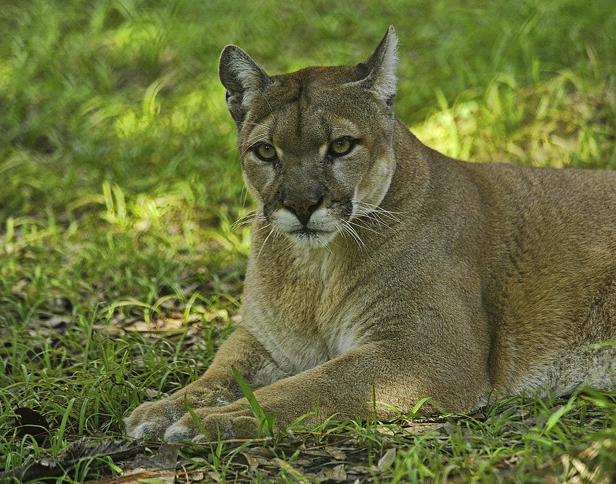 Panther Photograph - Florida Panther by Keith Lovejoy
