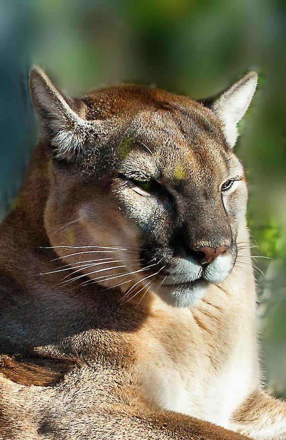 Florida Photograph - Florida Panther by Norman Johnson