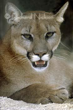 Florida Panther Photograph - Florida Panther by Richard Nickson
