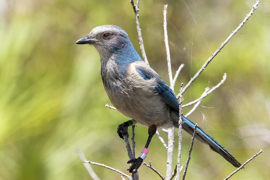 Florida Scrub Jay by Arthur Dodd