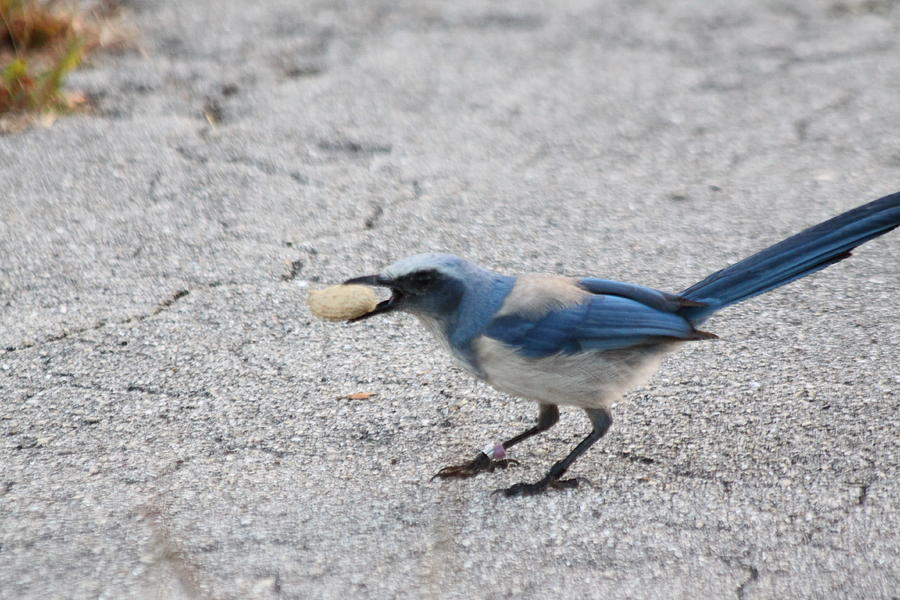 Scrub Jay Photograph - Florida Scrub Jay by Dart and Suze Humeston