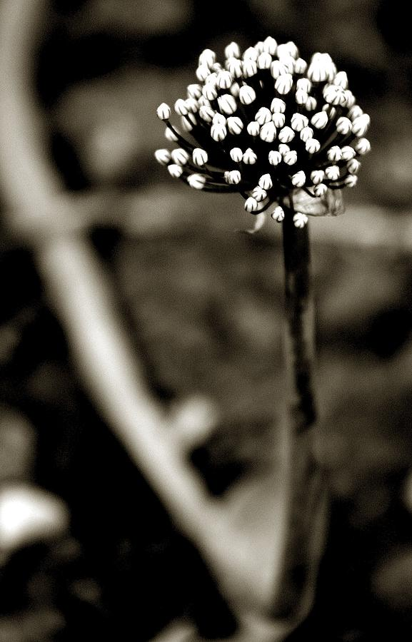 Flower Black And White Photograph - Flos N.4 by Eniko Lorinczi