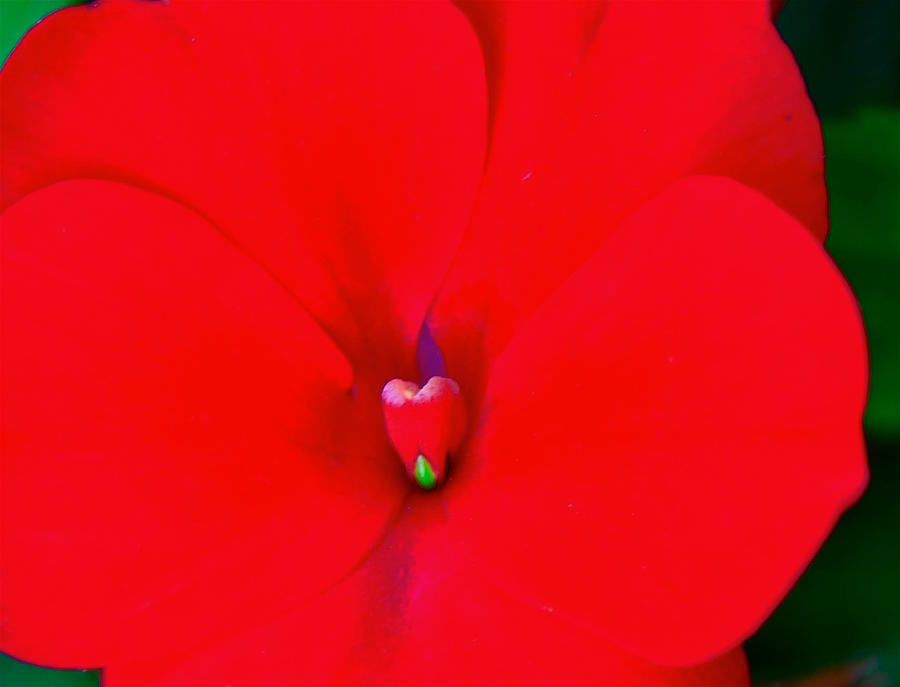 Red Photograph - Flower 20 by Gillis Cone