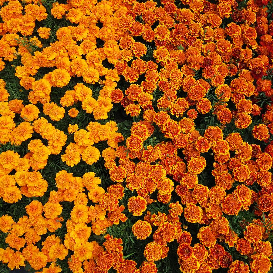 Flower Carpet Photograph