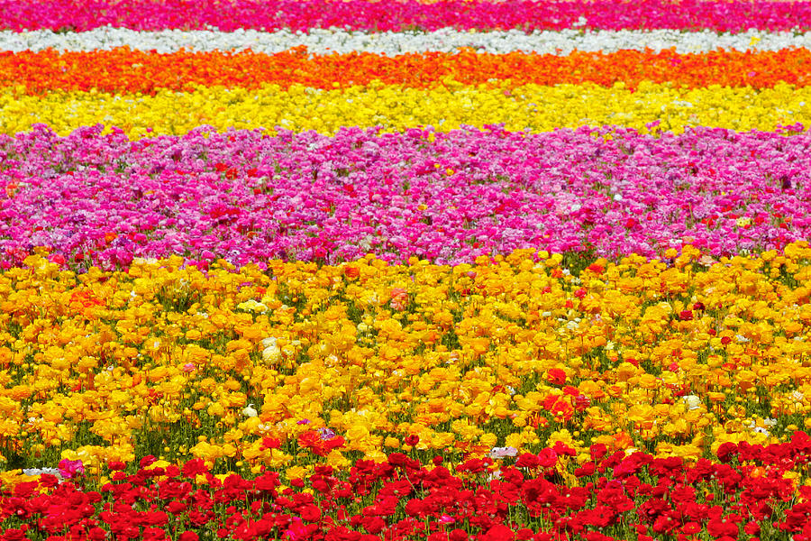 Flower Photograph - Flower Fields Carlsbad Ca Giant Ranunculus by Christine Till