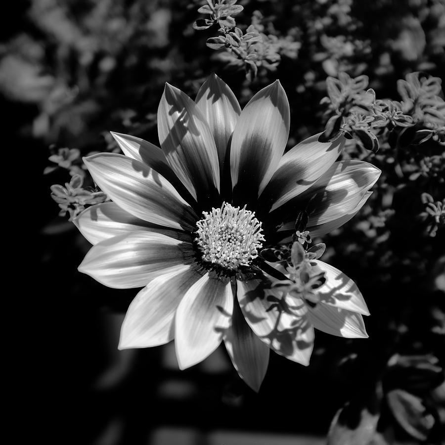 Flower Glow Black and White by Ron White