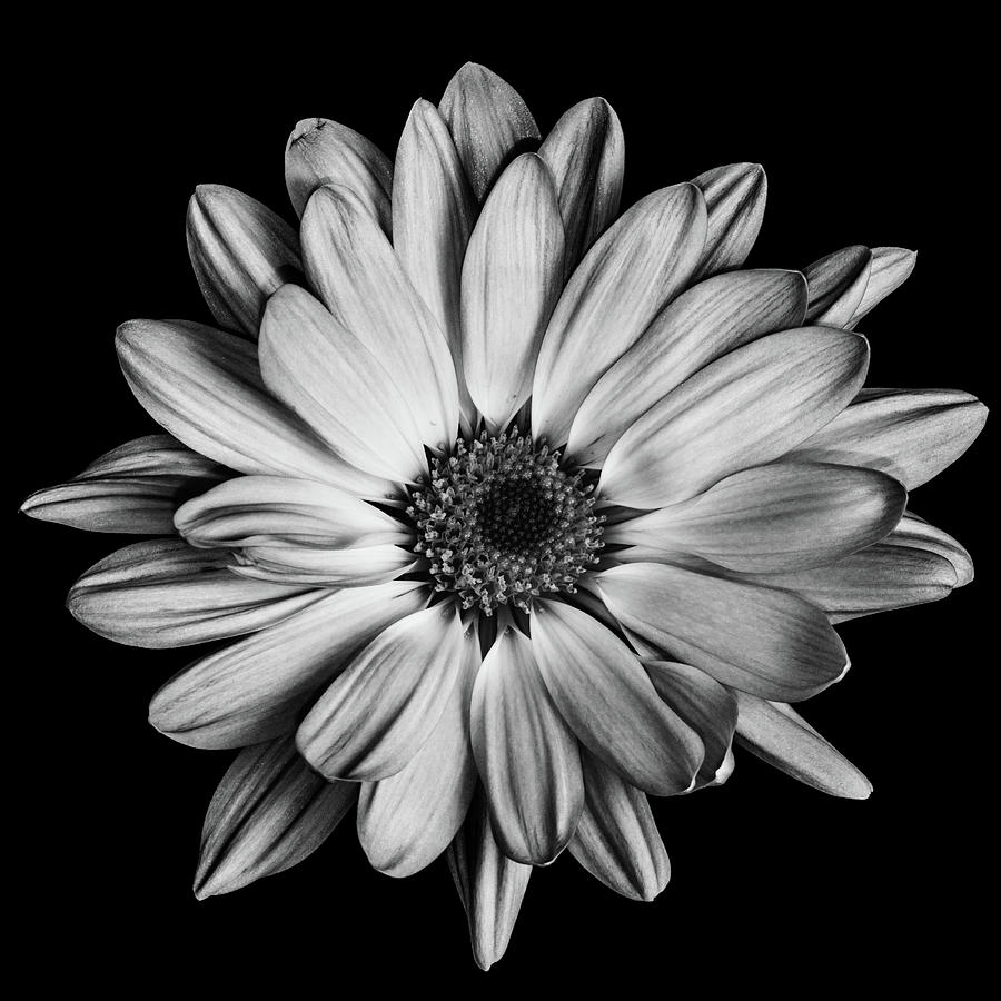 Flower In Black and White by Emily Bristor