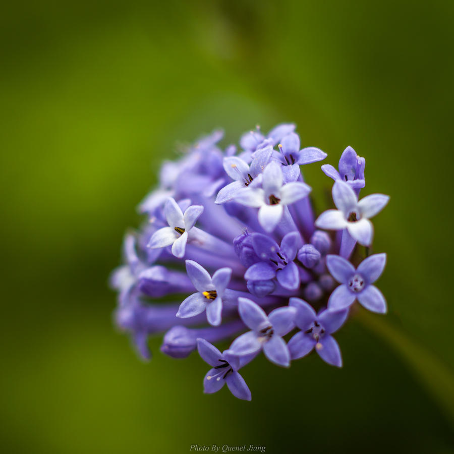 Macro Photograph - Flower Macro by Quenel Jiang