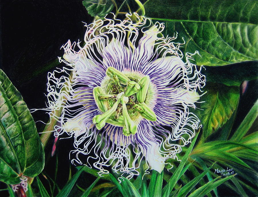 Color Pencil Drawing - Flower Of Passion by Mago Lee