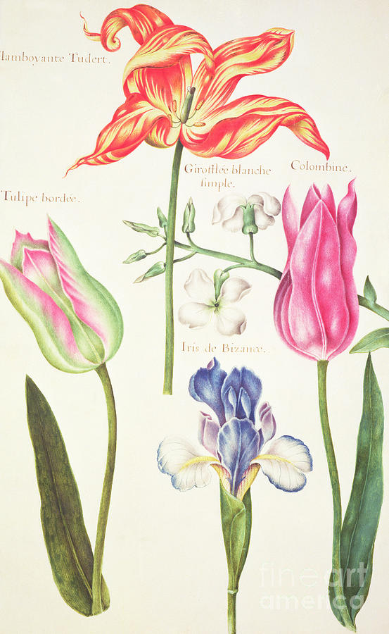 Tulip Drawing - Flower Studies  Tulips And Blue Iris  by Nicolas Robert