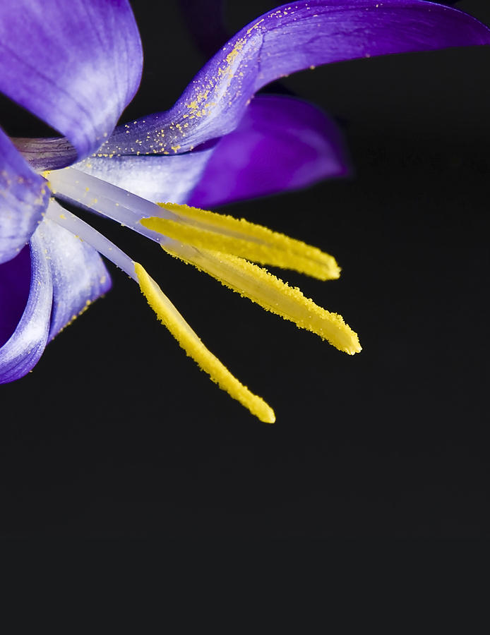 Crocus Photograph - Flower by Svetlana Sewell