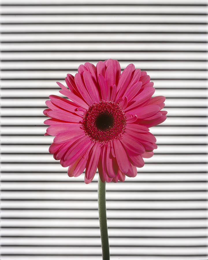 Gerber Daisy Photograph - Flower with Lines by Jessica Wakefield