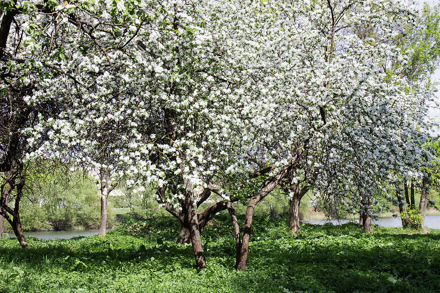 Flowering Apple Trees By The Pond Photograph By Larissa Antonova