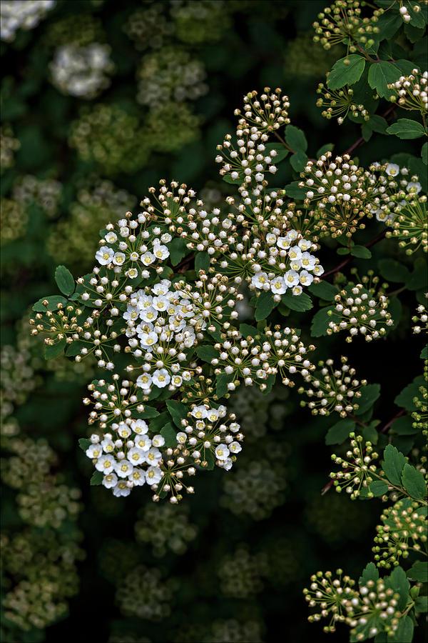 Nature Photograph - Flowering Bush by Robert Ullmann