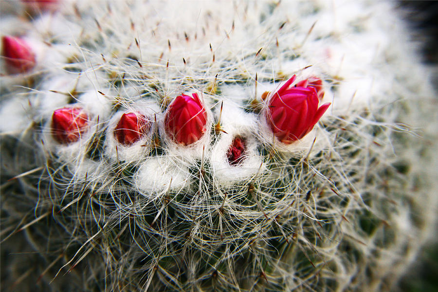 Cactus Photograph - Flowering Cactus by Marcus Adkins