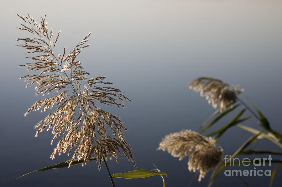 Nature Photograph - Flowering Cane Plant by Nahum Budin