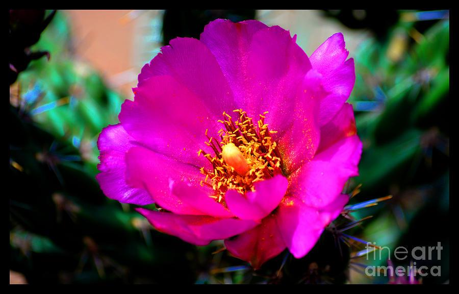 Flowering Cholla Cactus Photograph by Susanne Still