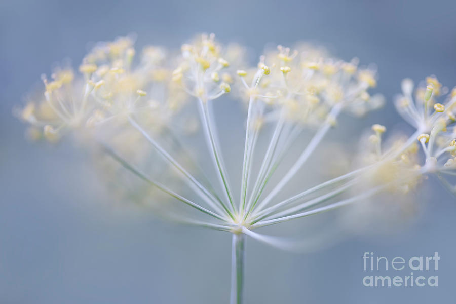 Dill Photograph - Flowering Dill by Elena Elisseeva