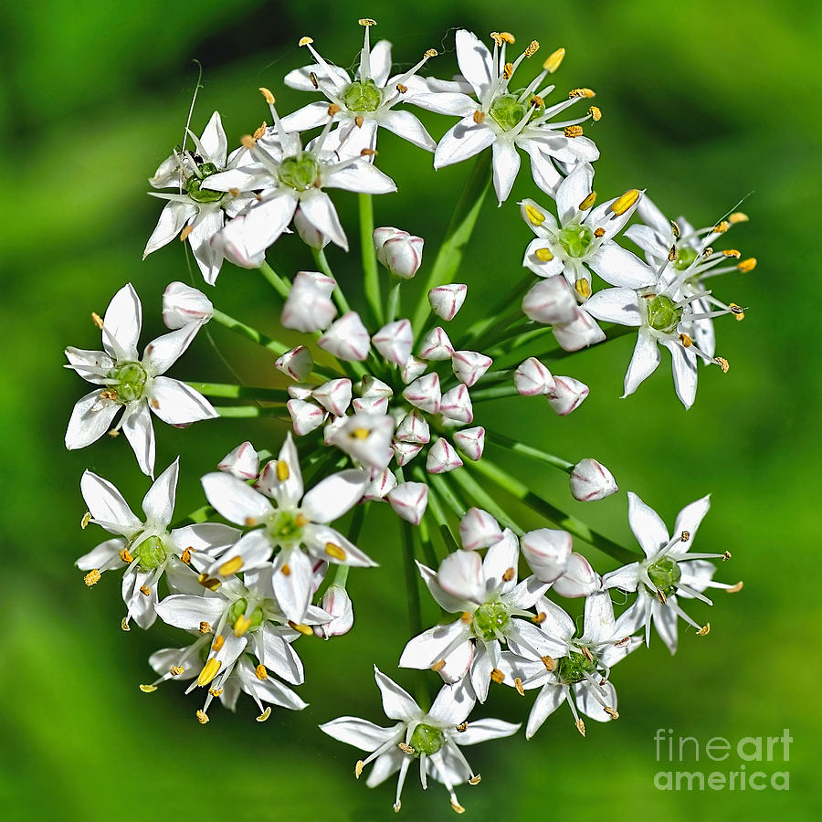 Garlic Chives Photograph - Flowering Garlic Chives by Kaye Menner